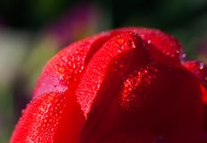 Raindrops on a tulip petal Royalty Free Stock Images