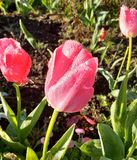 Raindrops on Tulips. In morning sunshine Royalty Free Stock Photography