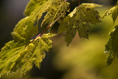 Raindrops on Vine Maples Stock Images