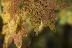 Raindrops on Vine Maples Royalty Free Stock Photography