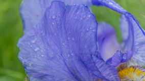 Raindrops on violet velvet. Another flower that I don`t know the name of, but I am going to find out! It was a hard day today - lots of rain, then some sun, then Royalty Free Stock Image