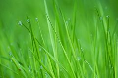 Raindrops w zielonej rośliny trawie obrazy royalty free