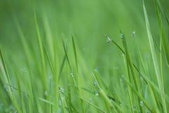 Raindrops w zielonej rośliny trawie fotografia stock