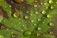 Raindrops on waterlily leaf Royalty Free Stock Photos