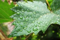 Raindrops on winegrape leaf Royalty Free Stock Image