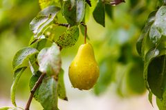 Raindrops on yellow pear hanging on green tree royalty free stock photos