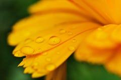 Raindrops on yellow petals royalty free stock photo