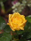 Raindrops on Yellow Rose Stock Photos