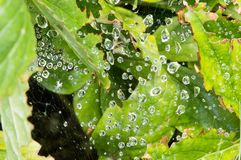 Raindrops zawieszający na sieci z Jasnozielonymi liśćmi Zdjęcie Stock