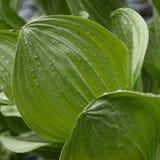 Rained on big leaf Royalty Free Stock Photo