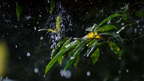 Rainfall droplet on green leaves royalty free stock photography