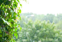 Rainfall in forest. Details of rainfall over trees in forest Stock Image