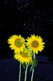 Rainfall over sunflowers Royalty Free Stock Image