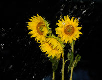 Rainfall over sunflowers Stock Images
