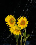 Rainfall over sunflowers Royalty Free Stock Photography