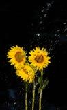Rainfall over sunflowers Stock Photos