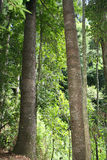 The Rainforest. Sunlight filtering through trees in an Australian rainforest, Queensland Royalty Free Stock Photography