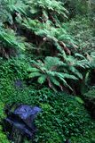 Rainforest. Oxley world heritage ferns, plants, rocks and thick rainforest on a wet day Royalty Free Stock Photos