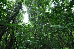 Rainforest. Thick tropical jungle rainforest with trees and vines in Chiapas, Mexico Stock Image