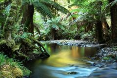 Rainforest. River, in golden early morning light.  Yarra Ranges, Victoria, Australia Royalty Free Stock Photos