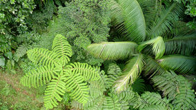 Rainforest from above. Looking down on vivid green rainforest trees including tree ferms, palms, and others.  Dominica Island, in the Caribbean Royalty Free Stock Photography