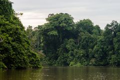 Rainforest along the kinabatangan river, Sabah, Borneo. Malaysia.  Royalty Free Stock Photo