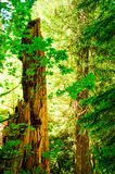 Rainforest. An ancient tree stump is bathed by sunlight that breaks though the foliage at Cathedral Grove in MacMillan Park on Vancouver Island, British Columbia Royalty Free Stock Photo