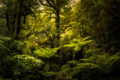 Rainforest. Beautiful lush rainforest of New Zealand Royalty Free Stock Image