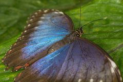 Rainforest butterfly is sitting on the tree leaf.  royalty free stock image