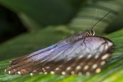 Rainforest butterfly is sitting on the tree leaf.  royalty free stock images