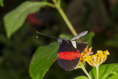 Rainforest butterfly is sitting on the tree leaf.  stock image