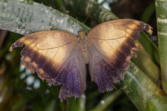 Rainforest butterfly is sitting on the tree leaf.  stock photography