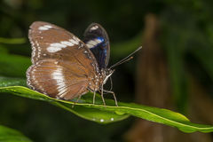 Rainforest butterfly is sitting on the tree leaf.  royalty free stock photography