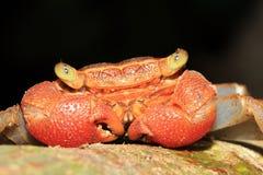 Rainforest Canopy Crab
