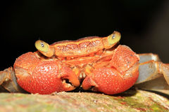 Rainforest Canopy Crab. Close-up of a Rainforest Canopy Crab (aka Tree-climbing Crab) Species, Drake Bay, Osa Peninsula, Costa Rica Stock Photos