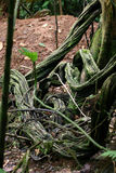Rainforest Curly Tape Vine Stock Photo