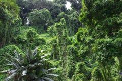 Rainforest. Dense tropical rainforest with banana tree Stock Photo