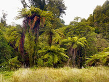 Rainforest, New Zealand. Fern trees and plants in tropical rainforest. New Zealand Stock Photo