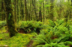 Rainforest. Ferns in rainforest. New Zealand Royalty Free Stock Photography
