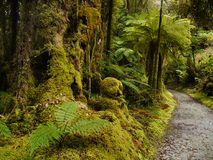Rainforest. Ferns in tropical rainforest. New Zealand Royalty Free Stock Photos