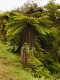 Rainforest, New Zealand. Fern trees and plants in tropical rainforest. New Zealand Royalty Free Stock Images