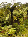 Rainforest, New Zealand. Fern trees and plants in tropical rainforest. New Zealand Royalty Free Stock Photography