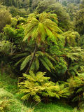 Rainforest, New Zealand. Fern trees and plants in tropical rainforest. New Zealand Stock Image