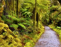 Rainforest, Fiordland, Westland, New Zealand. Rainforest with endemic tree-ferns. Fiordland, the West Coast of the South Island, New Zealand Royalty Free Stock Image