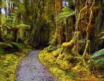 Rainforest, Fiordland, Westland, New Zealand. Rainforest with endemic tree-ferns. Fiordland, the West Coast of the South Island, New Zealand Royalty Free Stock Photo