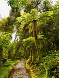 Rainforest, Fiordland, Westland, New Zealand. Rainforest with endemic tree-ferns. Fiordland, the West Coast of the South Island, New Zealand Stock Images