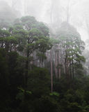 Rainforest on a foggy morning. Dense rainforest on a foggy morning with tall trees and atmospheric haze Stock Photo