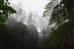 Rainforest on a foggy morning. Dense rainforest on a foggy morning with tall trees and atmospheric haze Stock Photos