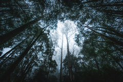 Rainforest on a foggy morning. Dense rainforest on a foggy morning with tall trees and atmospheric haze Stock Photography