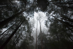 Rainforest on a foggy morning. Dense rainforest on a foggy morning with tall trees and atmospheric haze Stock Images